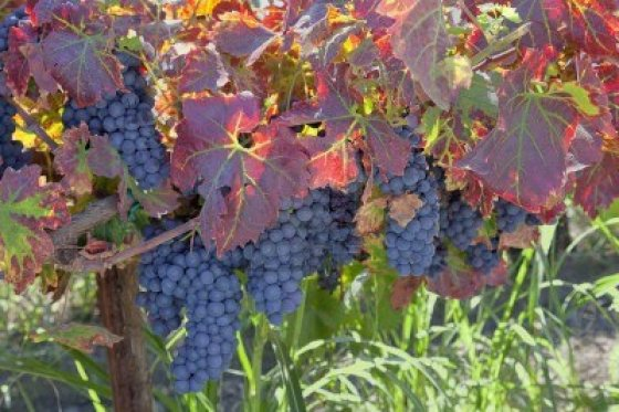 15399295-red-varietal-wine-grape-clusters-on-the-vine-autumn-harvest-time-california-vinyards